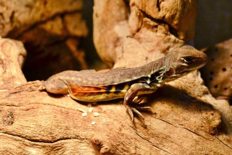 Butterfly Agamas