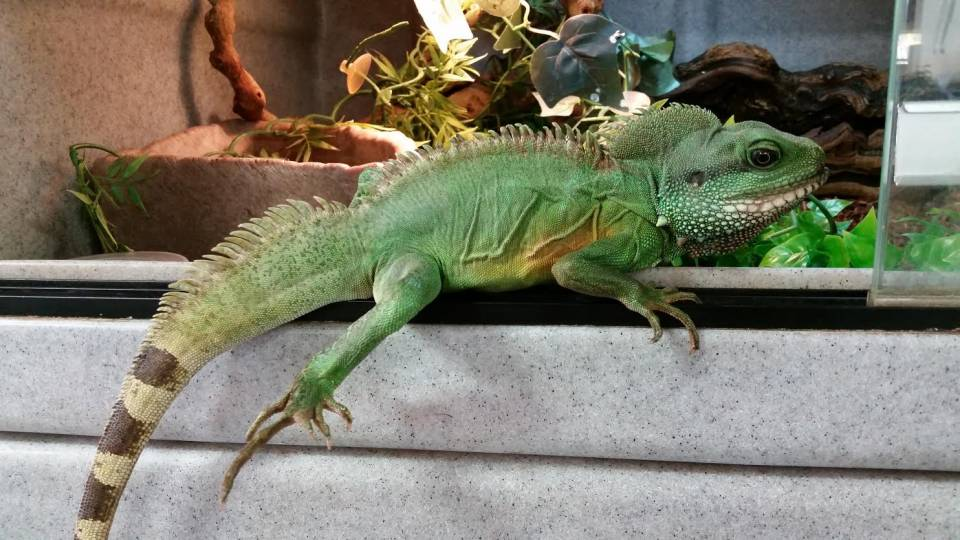 Adult Chinese Water Dragons