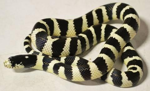 Baby Banded Black Amp White California Kingsnakes For Sale