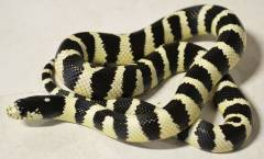 Baby Banded Black & White California Kingsnakes