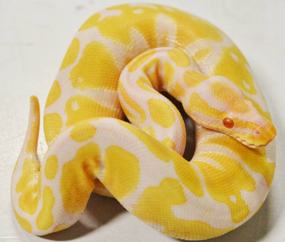 Image result for albino python""