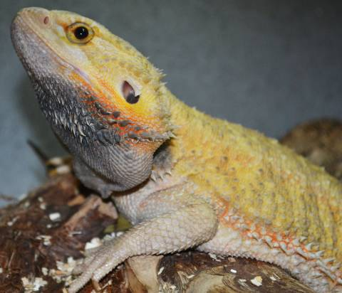Apologise, but Adult bearded dragons for sale excellent