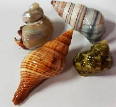 Small Exotic Shell Hermit Crabs