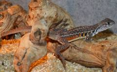 Butterfly Agamas w/stub tails