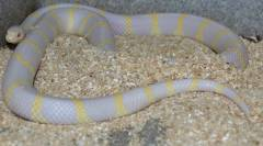 Adult Albino Banded California Kingsnakes