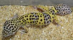 Sub Adult Hypo Leopard Geckos w/regrown tails
