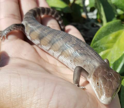 Baby Northern Blue Tongue Skinks