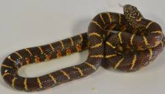 Baby Jelly Florida Kingsnakes