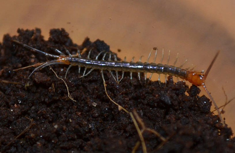 Scorpions, Centipedes, Millipedes & Other Bugs Archive