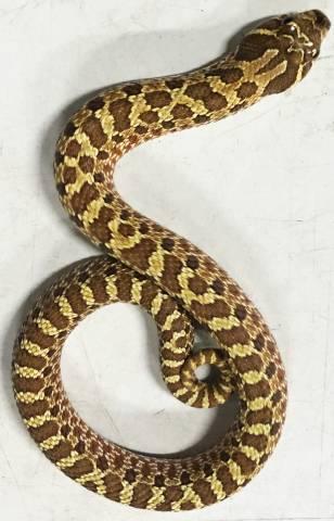 Baby Lemon Ghost Western Hognose Snakes