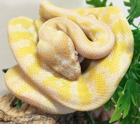 Baby Darwin Albino Carpet Pythons For Sale