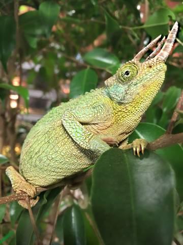 rainbow jacksons chameleons for sale
