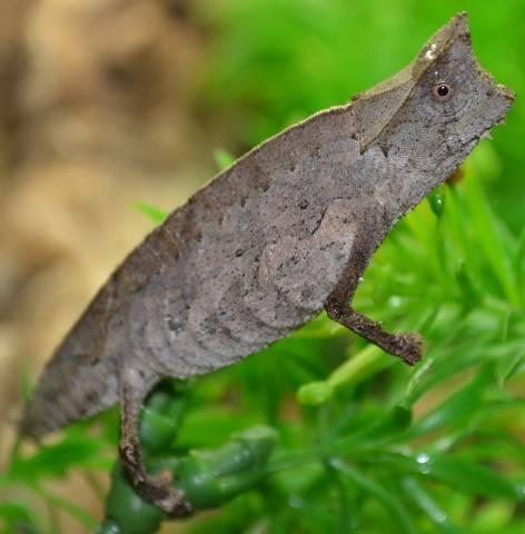 Madagascar Brown Leaf Chameleons Superciliaris For Sale