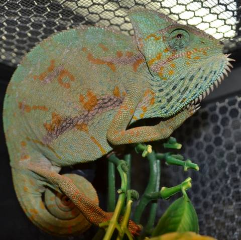 Medium Veiled Chameleons