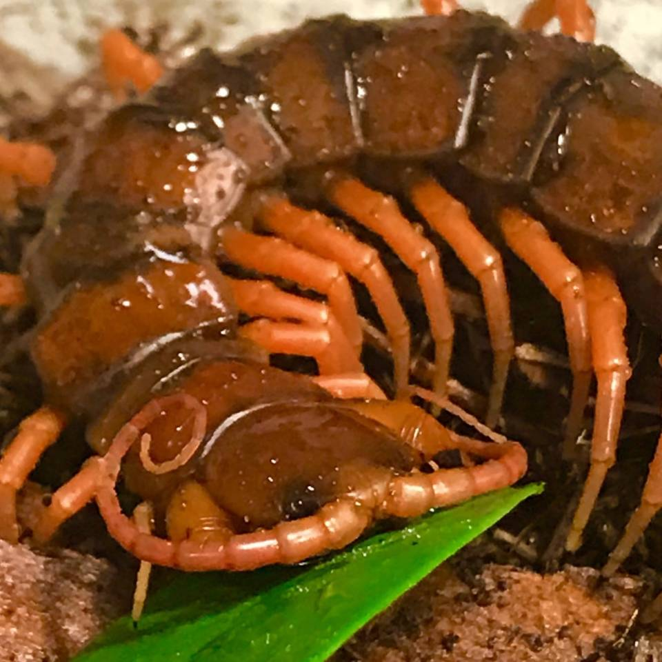 Chinese Giant Red Dragon Centipedes