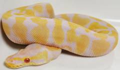 Medium Albino Pastel Ball Pythons