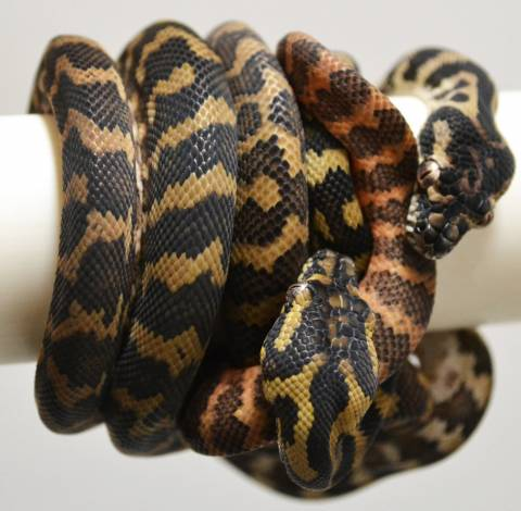 Baby Darwin Carpet Pythons Het For Albino For Sale