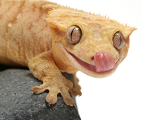 Other Geckos