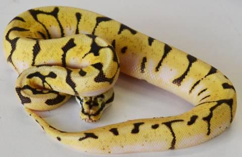 Baby Enchi Bumblebee Ball Pythons