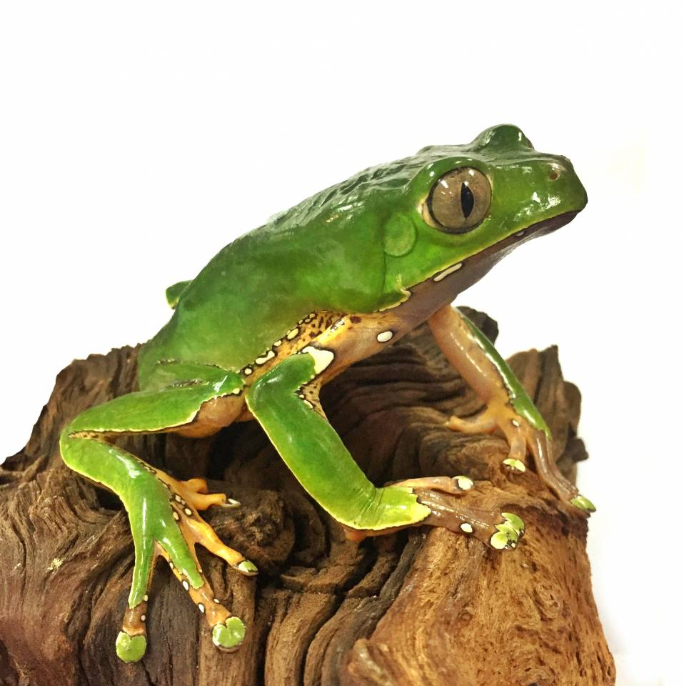 giant bicolor tree frogs