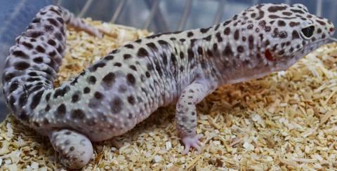 Gem Snow Leopard Gecko Wiki