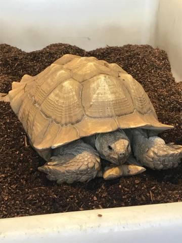 eb1507448f2 Adult Sulcata Tortoises