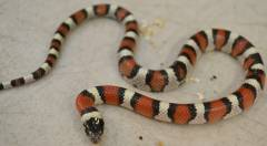 Baby Central Plains Milksnakes