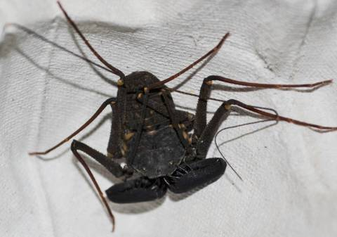 Florida Tailless Whip Spiders