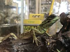 Baby Sailfin Dragons