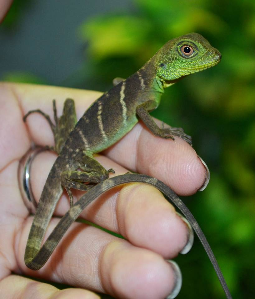 Image result for baby water dragons