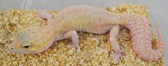 Adult Snow RAPTOR Leopard Geckos