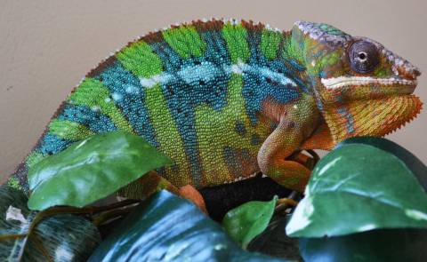 Adult Blue Bar Ambilobe Panther Chameleons w/minor scars