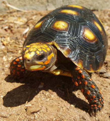 Small Red Foot Tortoises