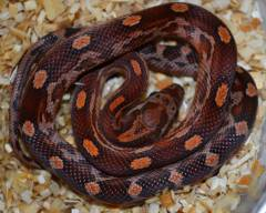 Cornsnakes and Ratsnakes Archive