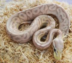 Baby Banana Pewter Ball Pythons