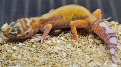 Small Tremper Albino Tangerine Leopard Geckos