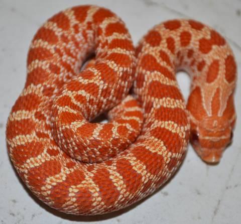Baby Albino Western Hognose Snakes For Sale