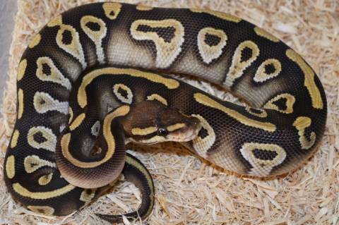 Baby Chocolate Mojave Ball Pythons