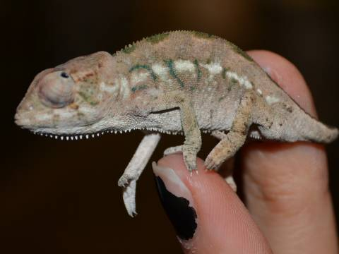 Baby Nosy Be Panther Chameleons