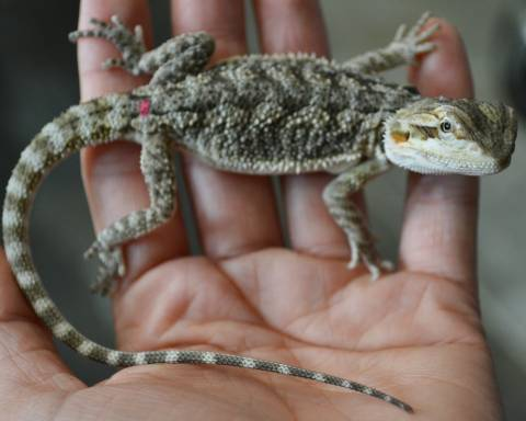 Small Bearded Dragons (Het for Witblits & Translucent)