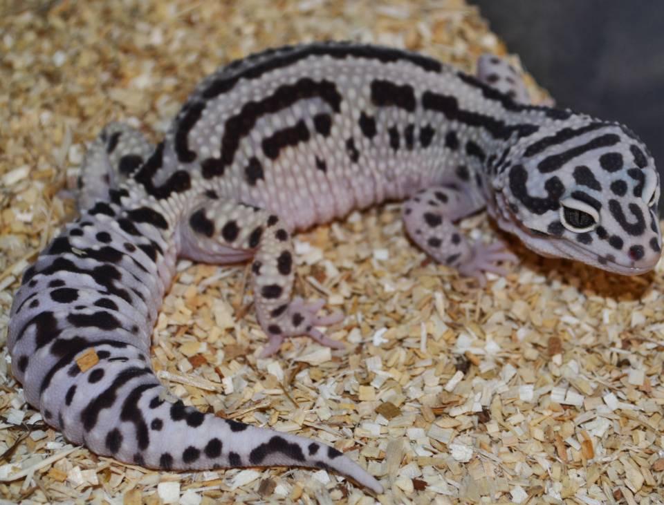 Halloween Mask Leopard Gecko.Adult Bold Stripe X Halloween Mask Leopard Geckos