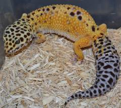 Halloween Mask Leopard Gecko.Leopard Geckos Archive
