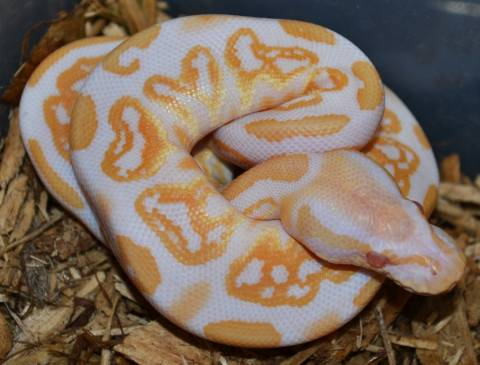 Baby Albino Black Pastel Ball Pythons