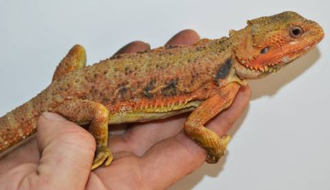 Large Red Translucent Bearded Dragons