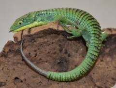 Mexican Alligator Lizards w/regrown tails