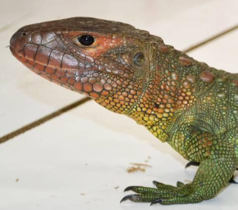 Adult Caiman Lizards