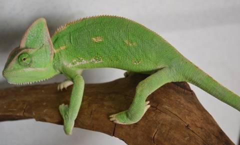 Sub Adult Veiled Chameleons For Sale