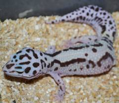 Adult Bold Jungle Leopard Geckos
