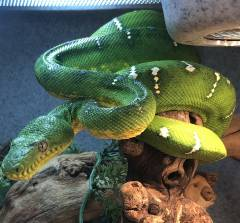 Adult Emerald Tree Boas