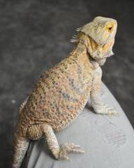Bearded Dragons For Sale - LLLReptile Archive